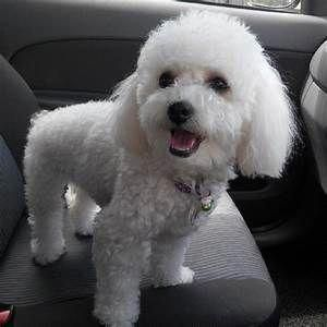 Poodles Are Generally Seen In Motion Pictures As The Family Pet