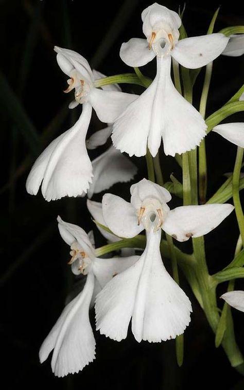 Habenaria dentata or Flower