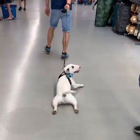 Dog is not a fan of walking