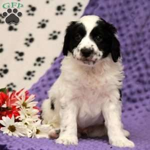 Miniature Aussiedoodle Puppies For Sale Greenfield Puppies