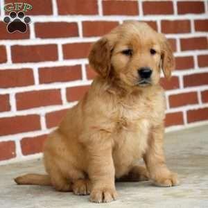 Thinkpup Shop Shepherd Mix Puppies Puppies For Sale Retriever