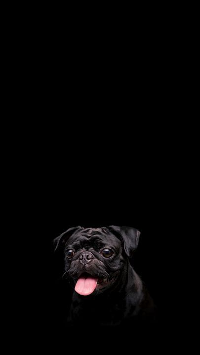 The Latest Iphone11 Iphone11 Pro Iphone 11 Pro Max Mobile Phone Hd Wallpapers Free Download Pug Dog Pet Dog Wallpaper Iphone Pug Wallpaper Dog Wallpaper Cool black dog wallpaper for iphone
