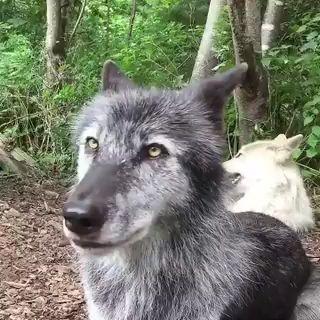 #nature #wildlife #wolves #wolf #coyote #fox #dogs #Dogsneedholidaystoo #WoofAdvisor #pettravel #dogsarefamily #dogsarelove #love #family #fridayfeeling #tgif #weekend
