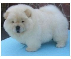 Chow Chow Puppies Available Cute Chow Chow Chow Puppies For