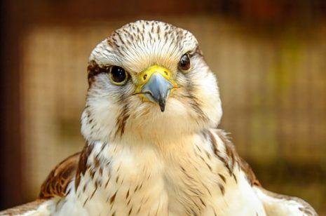 رؤية الصقر في المنام وتفسيره في منام المرأة والرجل بالتفصيل Pet Portraits Animals Vintage Bird Cage