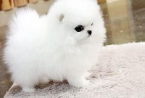 Teacup Pomeranian Puppies For Adoption Into Good Homes Only