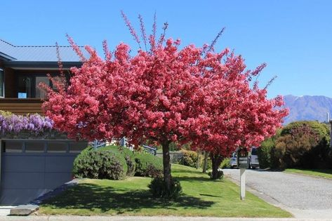 A Real Standout With Crimson Deep Pink Blossom Trees Very Heavy In Flower This Season These Stunning Small Trees For Garden Street Trees Flowering Crabapple