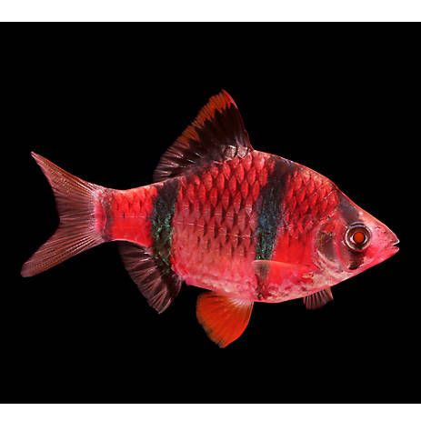 Glofish Starfire Red Tiger Barb Fish Pet Fish Tiger Fish Fish