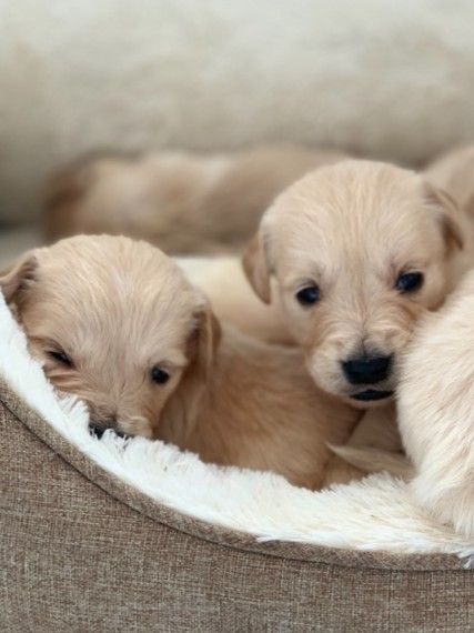 Gorgeous Litter Of Golden Retriever Puppies Brought Up In A