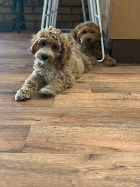Mini Australian Cobberdog Puppies For Sale Australian Labradoodle Puppies