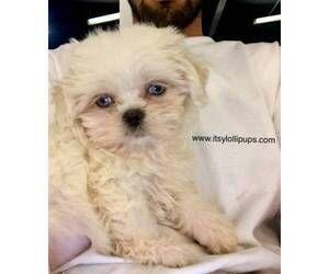 Shih Tzu Puppy For Sale In Hayward Ca Usa Puppies For Sale Shih Tzu Puppies