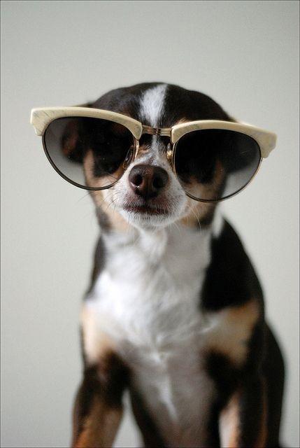 33 Animals Wearing Glasses Animals Chihuahua Love Cute Animals