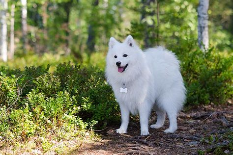 Japanese Spitz Dog Breed Information - American Kennel Club