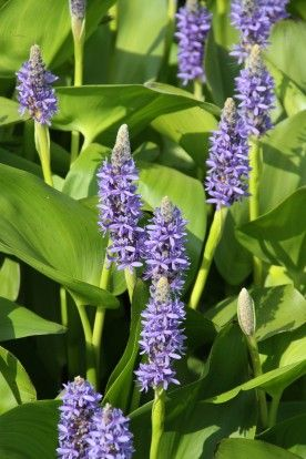 Pontederia cordata - Snoekkruid, moerashyacunth