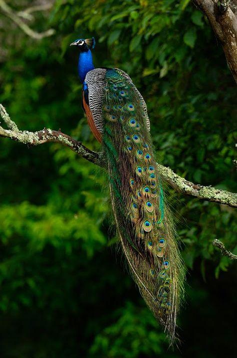 The India-Blue Peacock: National bird of India, photography: Thomas @ WalkTheWilderness.net