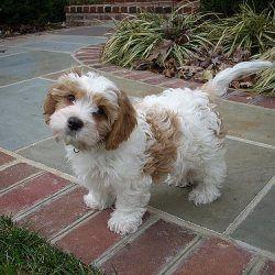 Cavachon Puppies For Adoption In Alexandria Va Cavachon Puppies