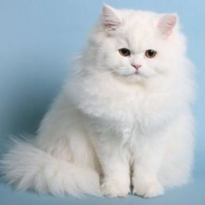 Persian Cat For Sale In Bangalore Persian Cat Persian Cats For Sale Persian Cat Doll Face