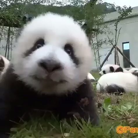 Click visit button to watch more  #babypandabears Turn your volume up for this one!