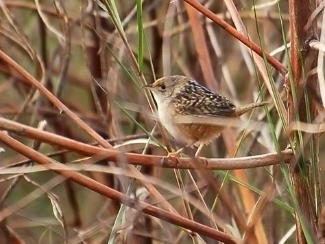 Defeated by a little bird! It's humbling, I confess, to have chased wild birds over much of North America for 35 years and still not have seen a common sedge wren.