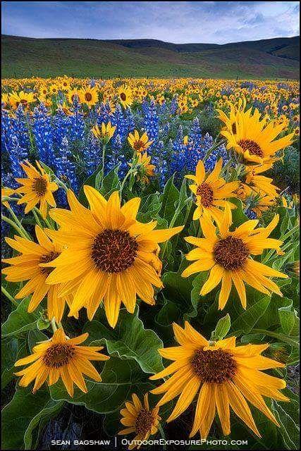 Flores Por Lymgym Jardin Girasoles Flores Bonitas Paisajes Flores