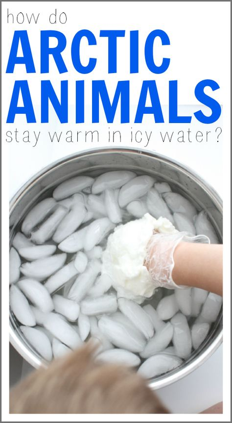 Ever wondered how arctic animals stay warm in icy water? This fun science experiment shows how a layer of fat makes a huge difference in body temperature! experiments How Arctic Animals Stay Warm in Icy Water Science Montessori, Science Classroom, Teaching Science, Preschool Activities, Science Education, Polar Animals Preschool Crafts, Volcano Activities, Bears Preschool, Animal Activities For Kids