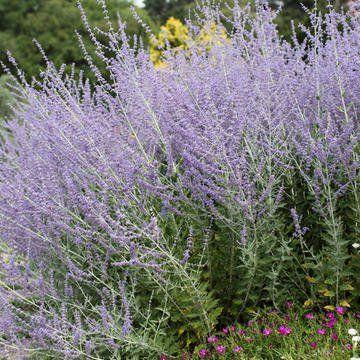 Bluhende Blauraute Perovskia Atriplicifolia Pflanzen Bepflanzung Mehrjahrige Pflanzen