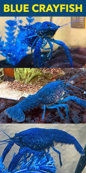 Blue Crayfish Crayfish Pet Shrimp Blue Shrimp