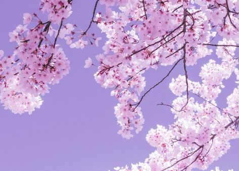 Soft Hued Cherry Blossoms Poster By Bear Amber Art Displate Blossom Cherry Blossom Cherry Blossom Art