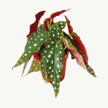 Polka Dot Begonia Trout Begonia Begonia Maculata Wightii