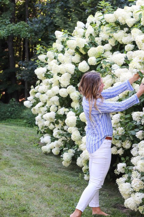 How to grow Limelight Hydrangeas. I'm sharing all my tips and pointers for how to grow limelight hydrangeas from new plants that are now over tall. Hydrangea Tree, Limelight Hydrangea, White Hydrangeas, White Hydrangea Garden, Pink Hydrangea, Hydrangea Landscaping, Front Yard Landscaping, Hedges Landscaping, Landscaping Ideas