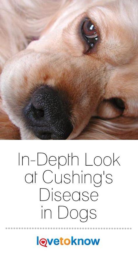 In Depth Look At Cushing S Disease In Dogs Cushings Disease Dogs Cushing Disease Cushings