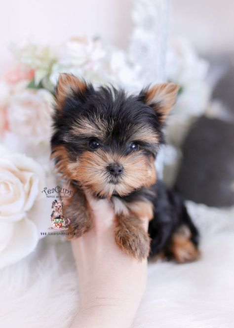 Toy or Teacup Yorkies for sale   Teacup Puppies & Boutique