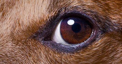 Light From Flash In Dog S Eye Pictures