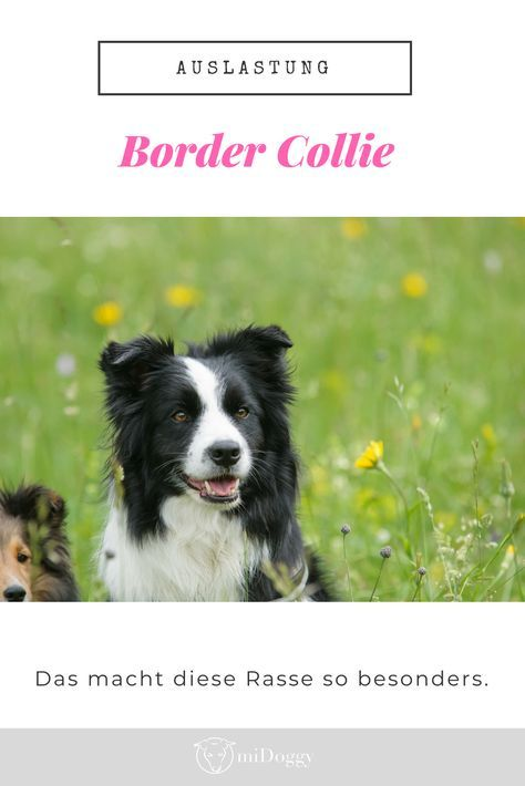 Das Is N Border Collie Kein Dummer Hund Midoggy Community