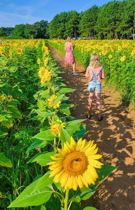 If you love sunflower fields, when you visit Raleigh North Carolina here are 6 sunflower fileds in Raleigh to see. #Raleigh #NorthCarolina