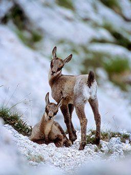 Animaux des montagnes http://blog.travelski.com/animaux-montagne