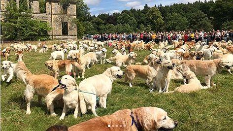 Fox News Hundreds Of Golden Retrievers Gather In Scotland For