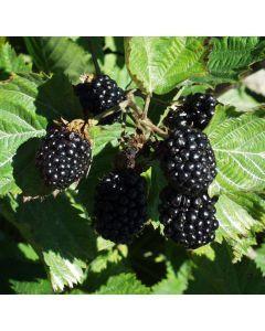 Apache Blackberry 4 Inch Pot Edible Garden Edible Landscaping Plant Sale