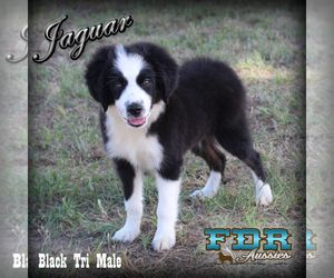 Puppyfinder Com View Ad Listing Border Collie Dog For Adoption