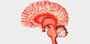 Bulbo Raquídeo Anatomia Del Cerebro Humano Cerebro Humano Anatomía