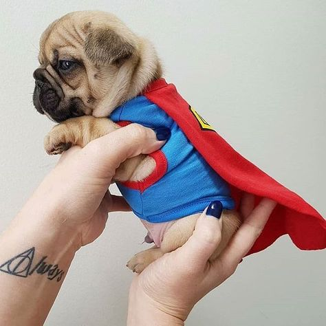 How Adorable It This Super Pug Click To See More Pugs Cute