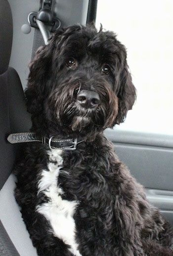 A Black With White Springerdoodle Is Sitting Against The Backseat Of A Vehicle And It Is Looking Forwar Goldendoodle Black Springerdoodle Goldendoodle Haircuts