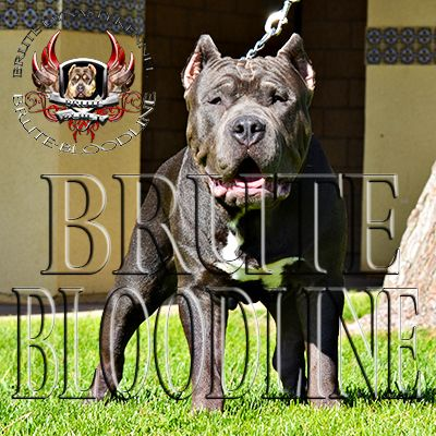Brute Bloodline 7 Month Old Male Ghost Tri Bully Pitbull Bully