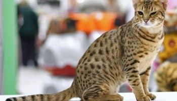 Somali Cat Breed Profile Pawesome Cats In 2020 Ocicat Cat