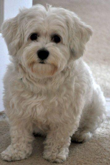 Such A Cute Havanese Havanesedogs Mit Bildern Susse Baby Tiere Susseste Haustiere Niedliche Hunde