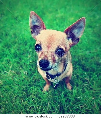 A Cute Tiny Chihuahua In The Grass Done With A Vintage Retro