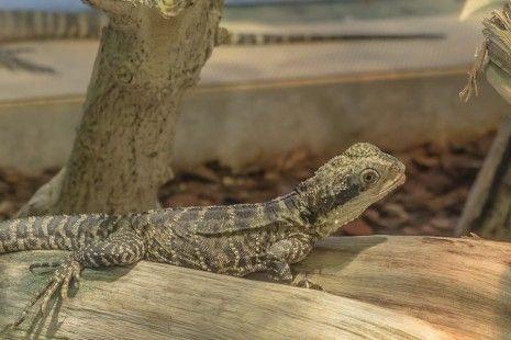 ما تفسير رؤية الوزغ في المنام لابن سيرين ابن سيرين الوزغ الوزغ في الحلم الوزغ في المنام Lizard Gecko Reptiles
