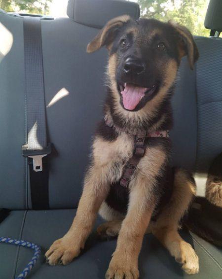 German Shepherd Puppy In The Back Seat Of A Car German Shepherd