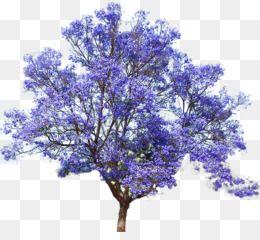 Free Download Jacaranda Mimosifolia Empress Tree Seed Bonsai Flower Tree Png 677 605 And 0 81 Mb Semillas De Arbol Jacarandas Arboles De Sombra