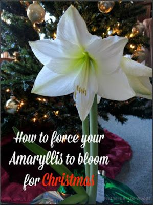 How To Force An Amaryllis To Bloom Again Amaryllis Bulbs Amaryllis Christmas Plants